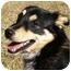Photo 4 - Sheltie, Shetland Sheepdog/Australian Shepherd Mix Dog for adoption in Mocksville, North Carolina - Nikki