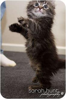 Domestic Longhair Kitten for adoption in Irvine, California - Dandelion