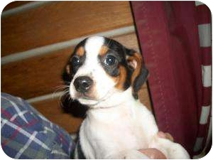 Beagle/Terrier (Unknown Type, Small) Mix Puppy for adoption in Lonedell, Missouri - Pavlov-b  (Dumped in cardboard
