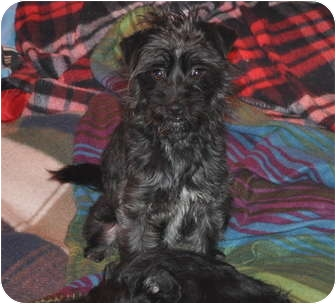 Terrier (Unknown Type, Small) Mix Dog for adoption in Tumwater, Washington - Zach