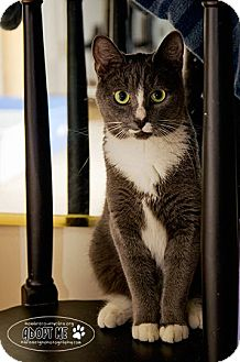 Domestic Shorthair Cat for adoption in Columbia, Maryland - Sparkle