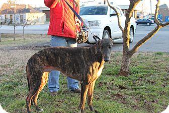 "Greyhound Dog for adoption in Smyrna, Tennessee - TB's Milk Man ""Toby"""