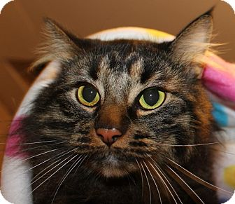 Maine Coon Cat for adoption in Pilot Point, Texas - MOXIE