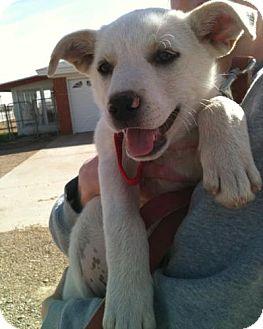 Labrador Retriever Mix Puppy for adoption in Lubbock, Texas - Marley