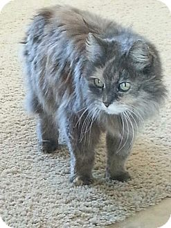 Domestic Longhair Cat for adoption in Scottsdale, Arizona - Sweetie (courtesy post)