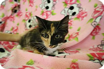 Domestic Mediumhair Kitten for adoption in Fountain Hills, Arizona - GABRIELLE