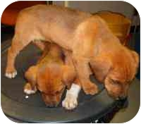 Terrier (Unknown Type, Medium) Mix Puppy for adoption in Wauseon, Ohio - 2 terrier mixes..ADOPTED