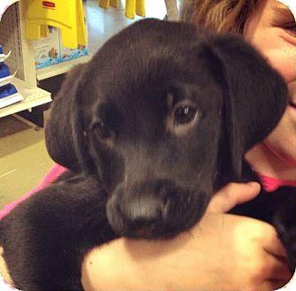 Labrador Retriever/American Water Spaniel Mix Puppy for adoption in Gainesville, Florida - November