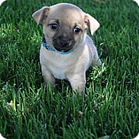 Adopt A Pet :: Archie - Broomfield, CO