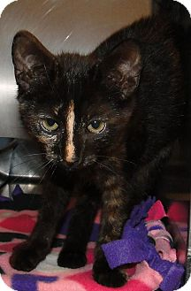Domestic Shorthair Cat for adoption in Brooksville, Florida - 1024247