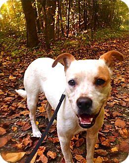 Australian Cattle Dog/English Bulldog Mix Dog for adoption in Pawling, New York - Hope