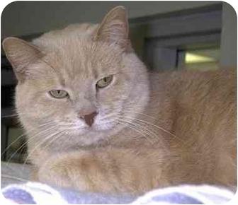 Domestic Shorthair Cat for adoption in Batavia, Ohio - Buffy