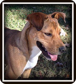 Boxer Mix Dog for adoption in Indian Trail, North Carolina - Marley