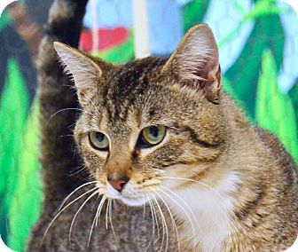 Domestic Shorthair Cat for adoption in Searcy, Arkansas - Austin