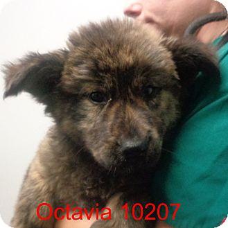 Golden Retriever/Boxer Mix Puppy for adoption in Greencastle, North Carolina - octavia