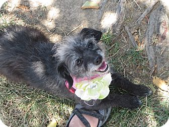 Yorkie, Yorkshire Terrier/Poodle (Miniature) Mix Dog for adoption in Stockton, California - Lucy