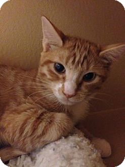 Domestic Shorthair Kitten for adoption in Plymouth Meeting, Pennsylvania - Stanley
