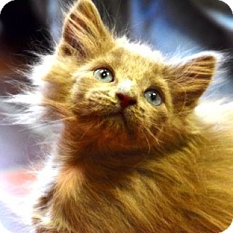 Domestic Longhair Kitten for adoption in Des Moines, Iowa - Chip & Guy