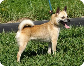 Chihuahua/Terrier (Unknown Type, Medium) Mix Dog for adoption in Batavia, Ohio - Priscilla