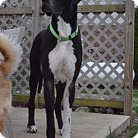 Adopt A Pet :: Thor - St. Louis, MO