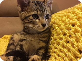 Domestic Shorthair Kitten for adoption in Tampa, Florida - Alfalfa