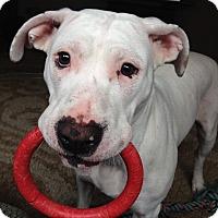 Adopt A Pet :: Sugar - Mount Kisco, NY