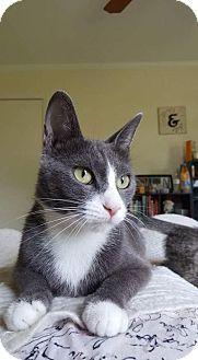 Domestic Shorthair Cat for adoption in Seneca, South Carolina - Kali $75