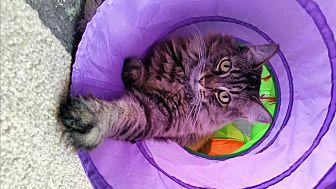 Domestic Mediumhair Cat for adoption in Upland, California - Chubbs