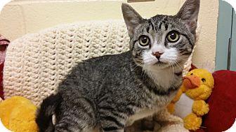 Domestic Shorthair Cat for adoption in Berlin, Connecticut - Booski