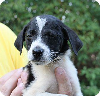 Labrador Retriever Mix Puppy for adoption in Hayes, Virginia - Roxy Boy 3
