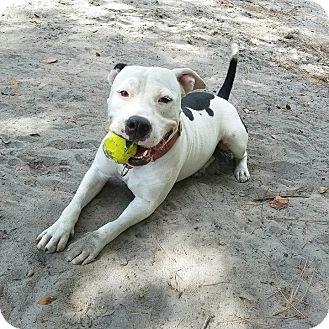American Bulldog Mix Dog for adoption in Umatilla, Florida - Diesel