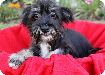 Yorkie, Yorkshire Terrier/Maltese Mix Puppy for adoption in Newport Beach, California - RICKI
