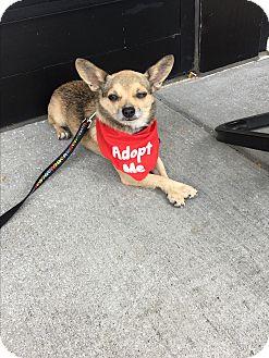 Chihuahua Mix Dog for adoption in Manhattan, Kansas - Duke