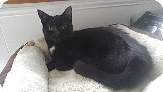 Domestic Shorthair Cat for adoption in Warren, Michigan - TinyTot