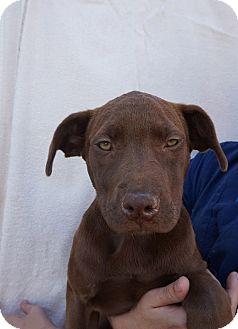 Labrador Retriever Mix Puppy for adoption in Oviedo, Florida - Prada