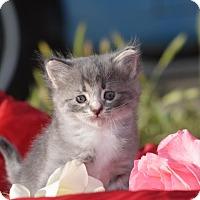 Adopt A Pet :: Lyra - Rosamond, CA