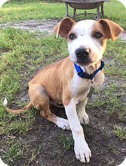 Labrador Retriever/Hound (Unknown Type) Mix Puppy for adoption in Hayes, Virginia - Woody