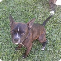 Adopt A Pet :: Boston - Oakley, CA