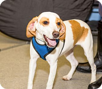 Beagle/Basset Hound Mix Dog for adoption in Martinsville, Indiana - Copper