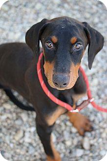 Doberman Pinscher Puppy for adoption in Fillmore, California - August (Auggie)