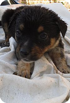 Australian Cattle Dog Mix Puppy for adoption in Guthrie, Oklahoma - Nita