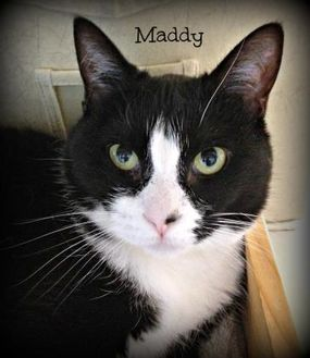 Domestic Shorthair/Domestic Shorthair Mix Cat for adoption in Crossfield, Alberta - Maddy