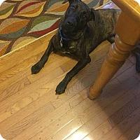 Adopt A Pet :: Hank - Waterbury, CT