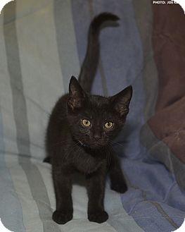 Domestic Shorthair Kitten for adoption in Medina, Ohio - Mertz