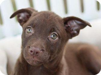 Labrador Retriever Mix Puppy for adoption in Danbury, Connecticut - Petunia - MEET ME @ PETCO 8-19!