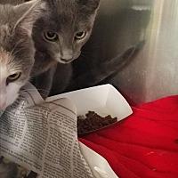 Adopt A Pet :: Brevard - Indianapolis, IN