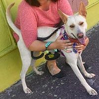 Labrador Retriever/Cattle Dog Mix Dog for adoption in Phoenix, Arizona - Lulu