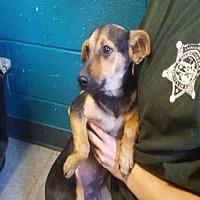 Adopt A Pet :: A095129 - Hanford, CA
