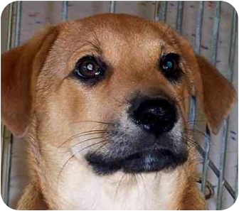 Labrador Retriever/Shepherd (Unknown Type) Mix Puppy for adoption in Olive Branch, Mississippi - Todd