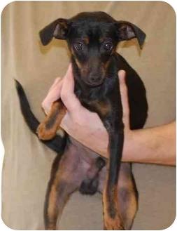 Miniature Pinscher Dog for adoption in Gallatin, Tennessee - Bubba